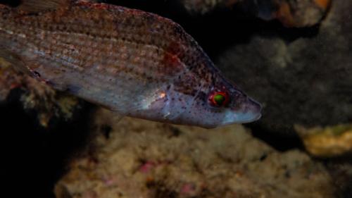 Symphodus rostratus